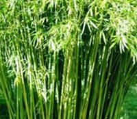 bamboo-description